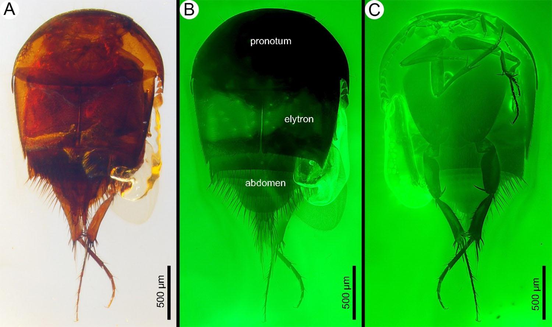 Найдены окаменевшие 99 миллионов лет назад в янтаре уникальные насекомые