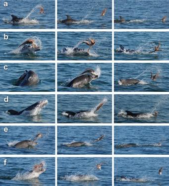 Последовательное приготовление добычи в виде осьминога дельфинами-афалинами для употребления в пищу